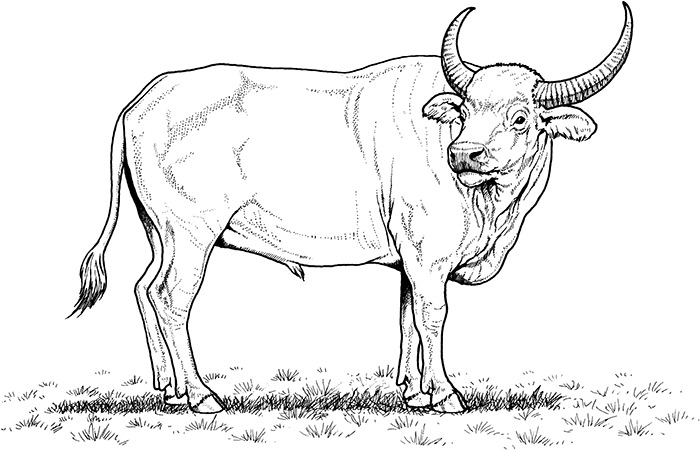 African Buffalo clipart coloring page Free African Coloring Template &