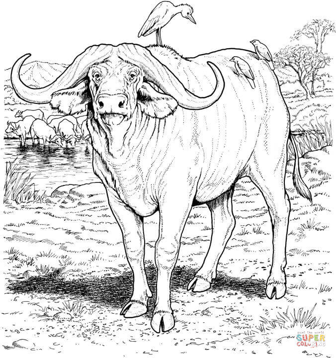 African Buffalo clipart coloring page African buffalo page Pages Home