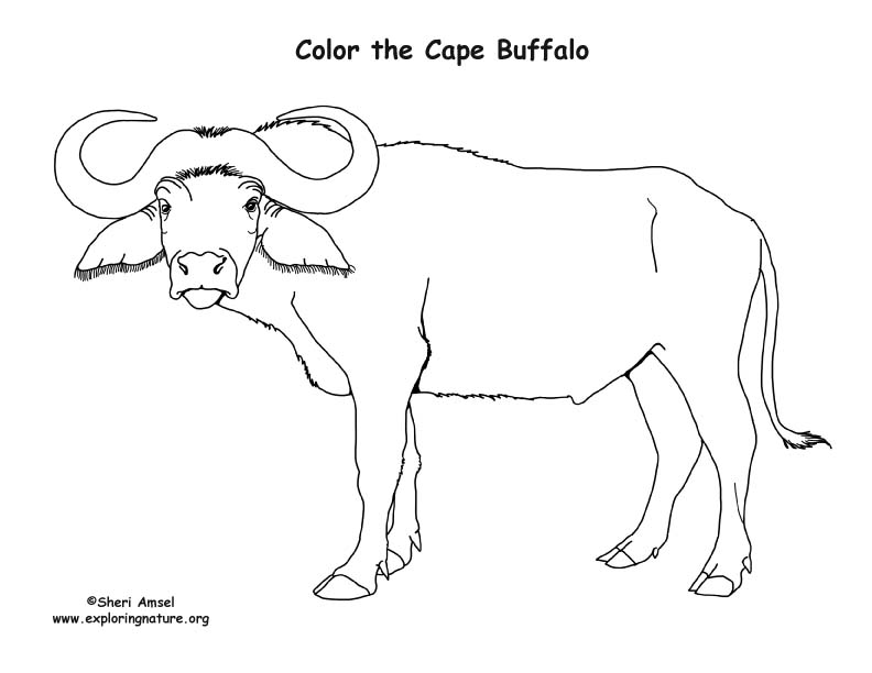 African Buffalo clipart coloring page Cape buffalo page cape water