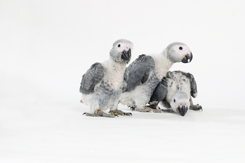 African Grey Parrot clipart · African Baby African Greys