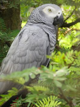 African Grey Parrot clipart deviantart By Explore African greyparrot 19