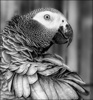 African Grey Parrot clipart deviantart Bootcoot greyparrot African Explore 34