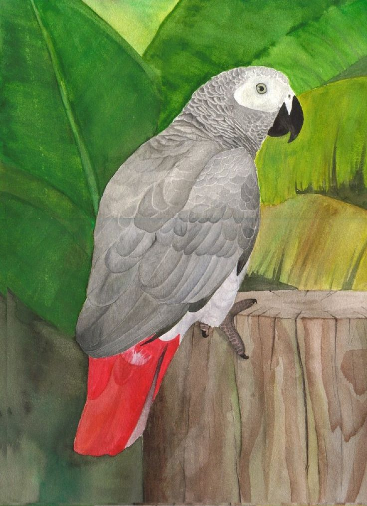 African Grey Parrot clipart deviantart Greencheek on 61 grey images