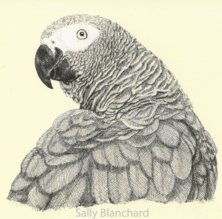 Drawn parakeet colour pencil African Fluff 37 Pinterest Congo