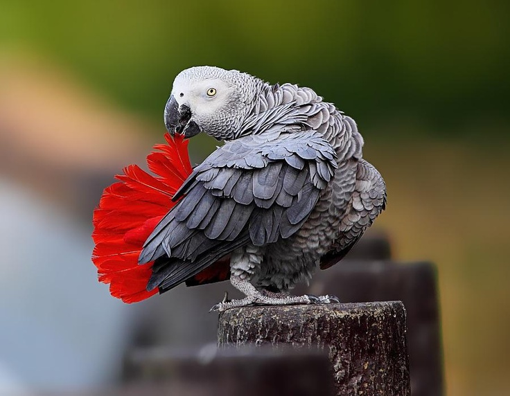 African Grey Parrot clipart i love you The and this PARROTS! images