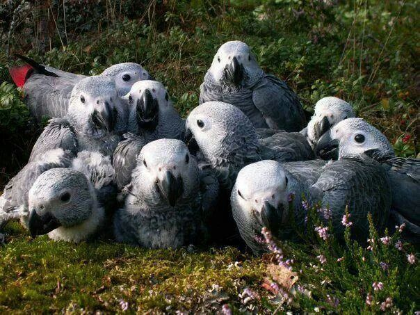 African Grey Parrot clipart i love you Love and Grey! this on