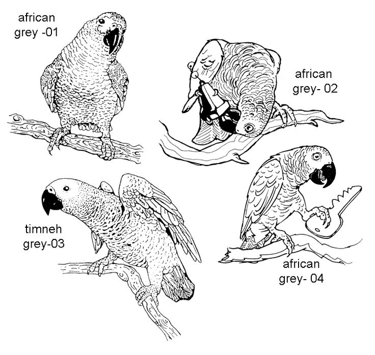 African Grey Parrot clipart papercraft Cards: best on greys African