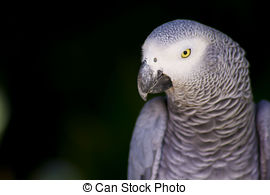 African Grey Parrot clipart parrot head Parrot Grey Isolated Head African