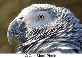 African Grey Parrot clipart parrot head African Parrot; Parrot Grey Grey