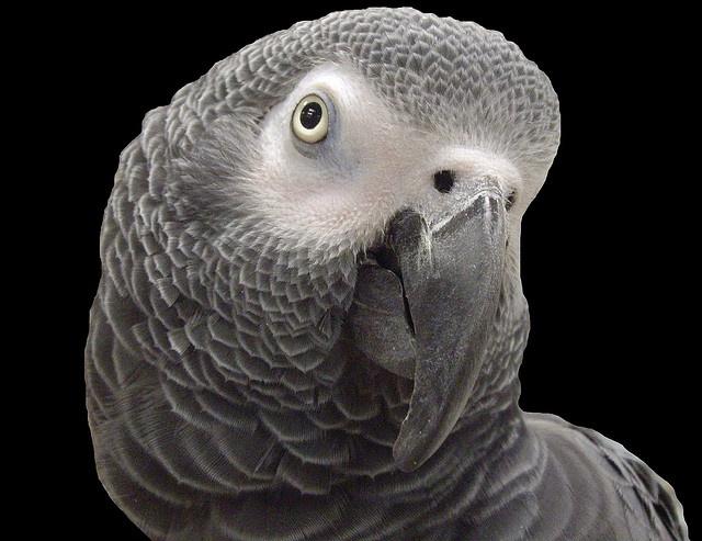 African Grey Parrot clipart parrot head African Parrot Parrots Grey Grey