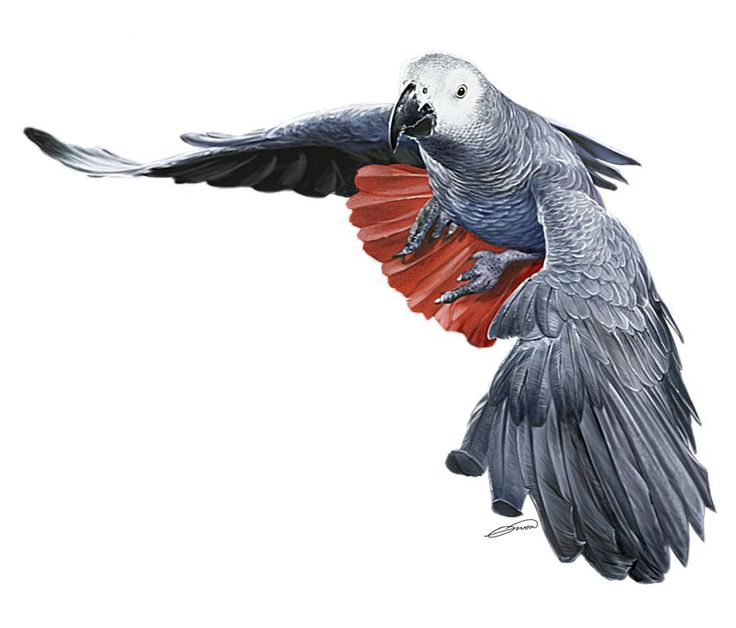 African Grey Parrot clipart simple Digital Art Owen Grey by