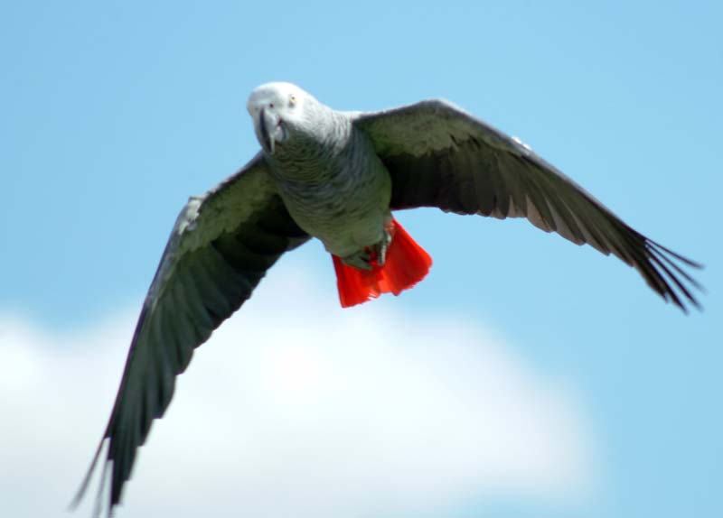 African Grey Parrot clipart wild My at 27 flying about