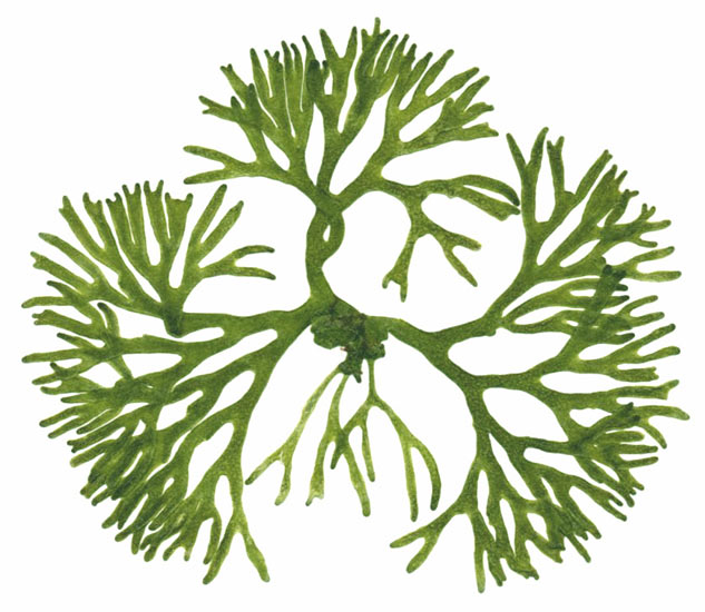 Drawn seaweed ocean algae Clipart #10 clipart Download Algae