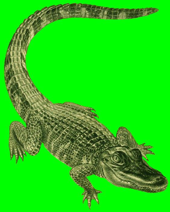 Alligator clipart vertebrate Clip  alligator images size