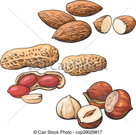 Hazelnut clipart Walnut Clipart Collection Art  peanut Vector