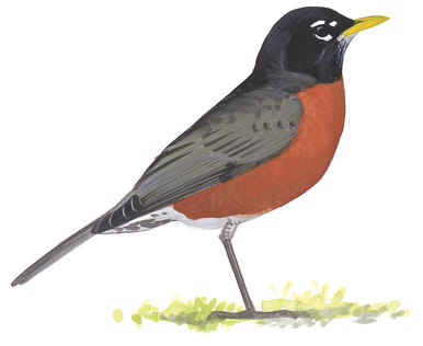 Drawn robin American Audubon Guide Varied Thrush