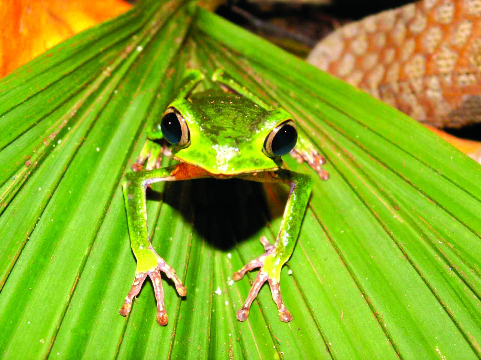Tree Frog clipart rainforest plant #6