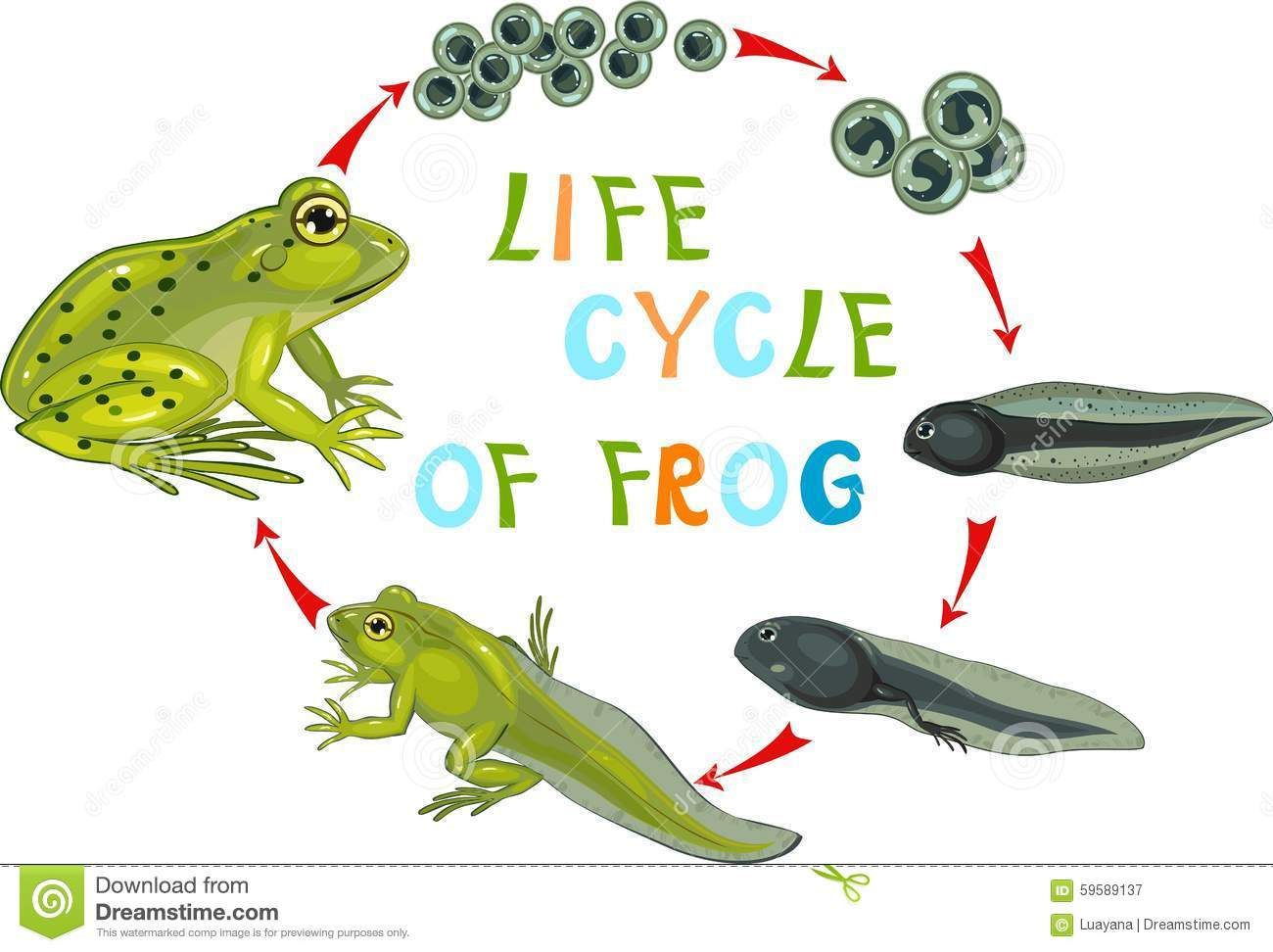 Amphibian clipart frog cycle Collection collection life cycle cycle