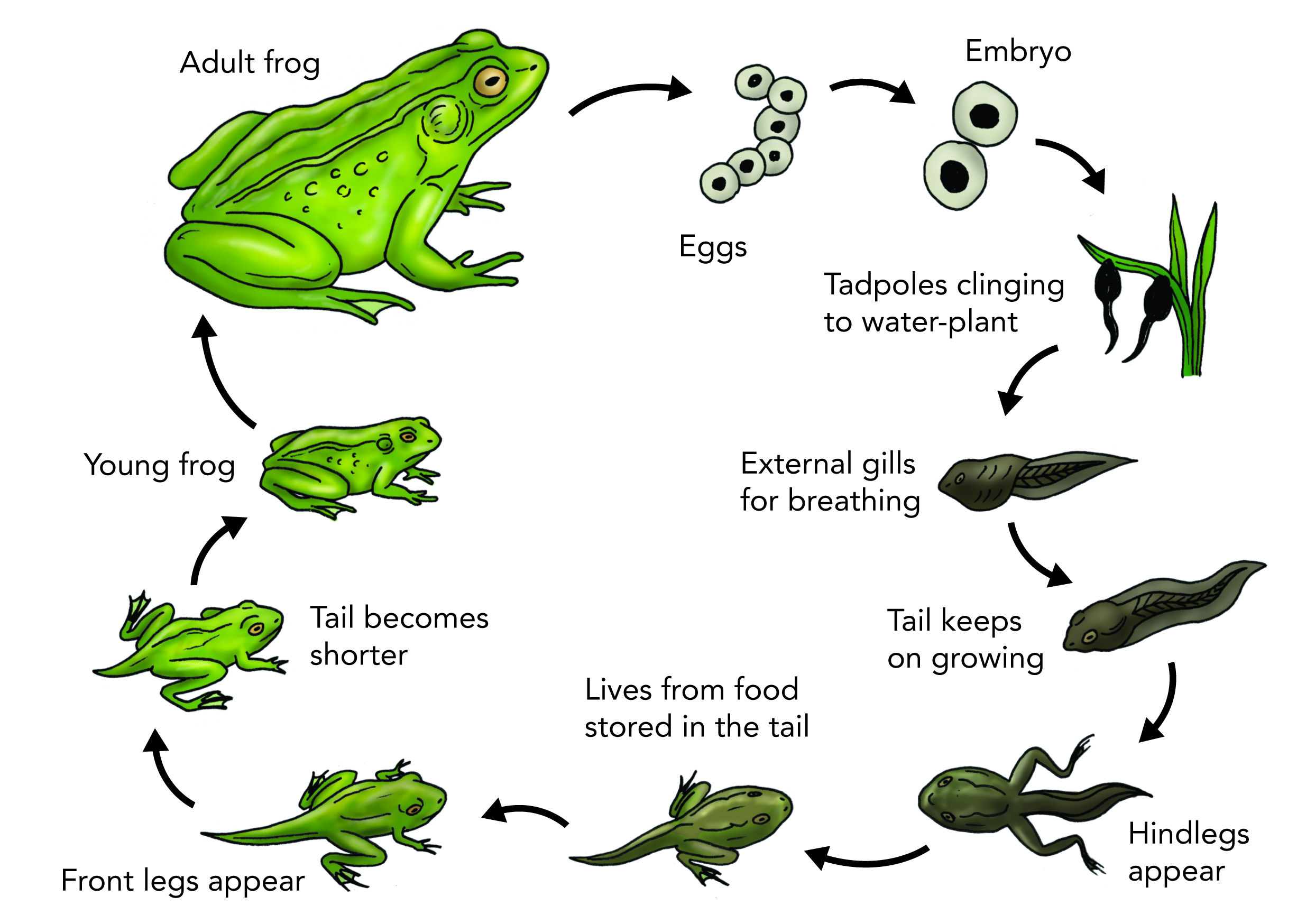Amphibian clipart frog cycle Cycle Class cycle emaze clipart
