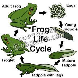 Amphibian clipart frog cycle Lessons Cycle Cycle Art: abcteach