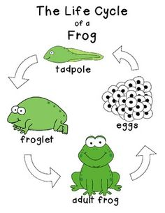 Amphibian clipart frog cycle Pinterest  Cycle English Life
