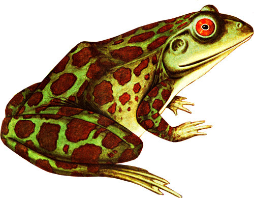 Amphibian clipart spotted Red clip frog clipart animal