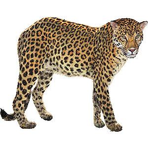 Amur Leopard clipart Amur Vector leopard Art leopard