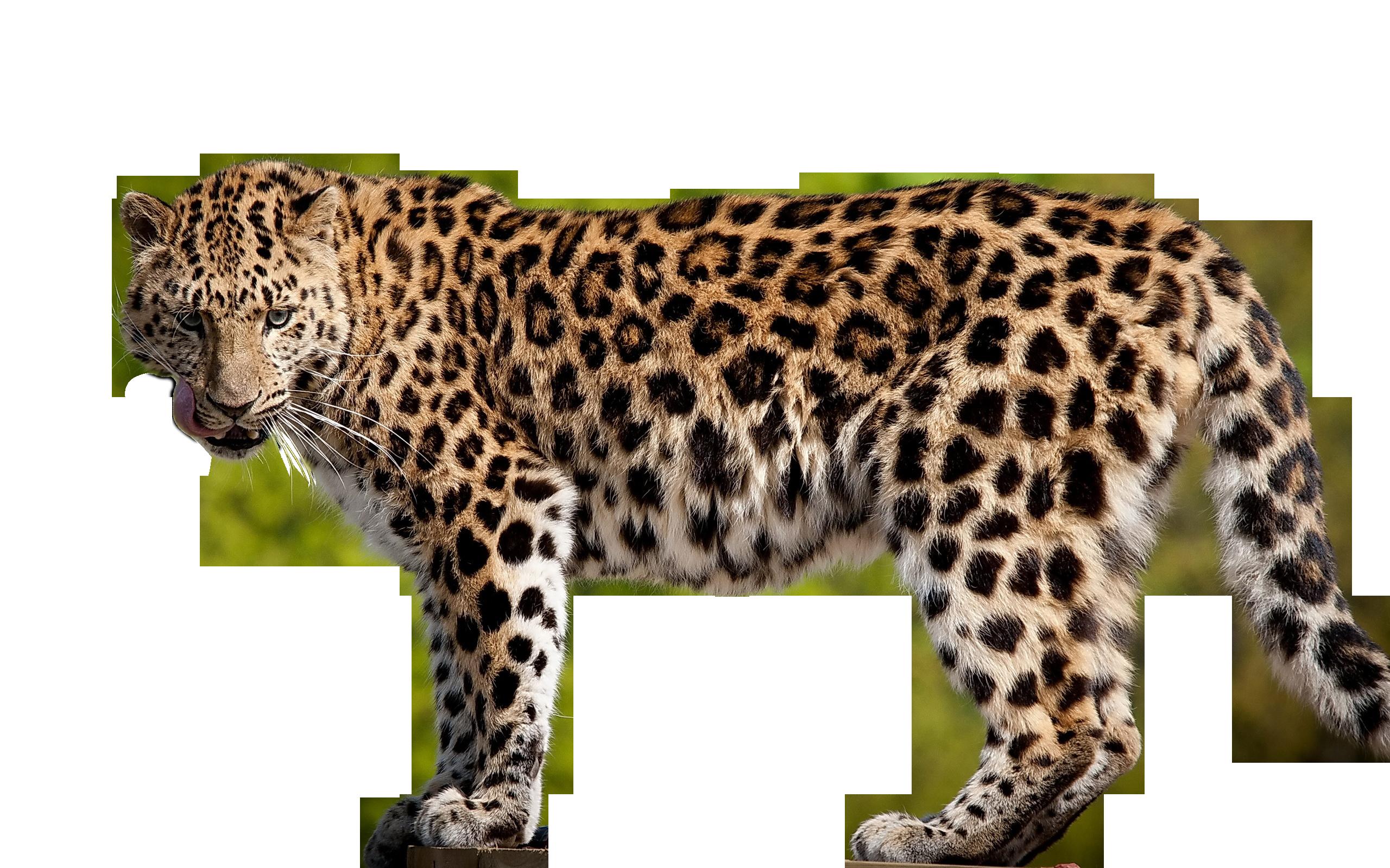 Amur Leopard clipart The Animal Amur Endangered emaze