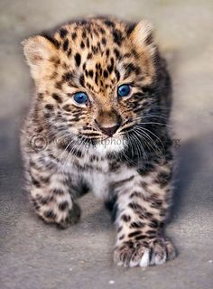 Amur Leopard clipart baby cheetah Leopard the  http://www baby
