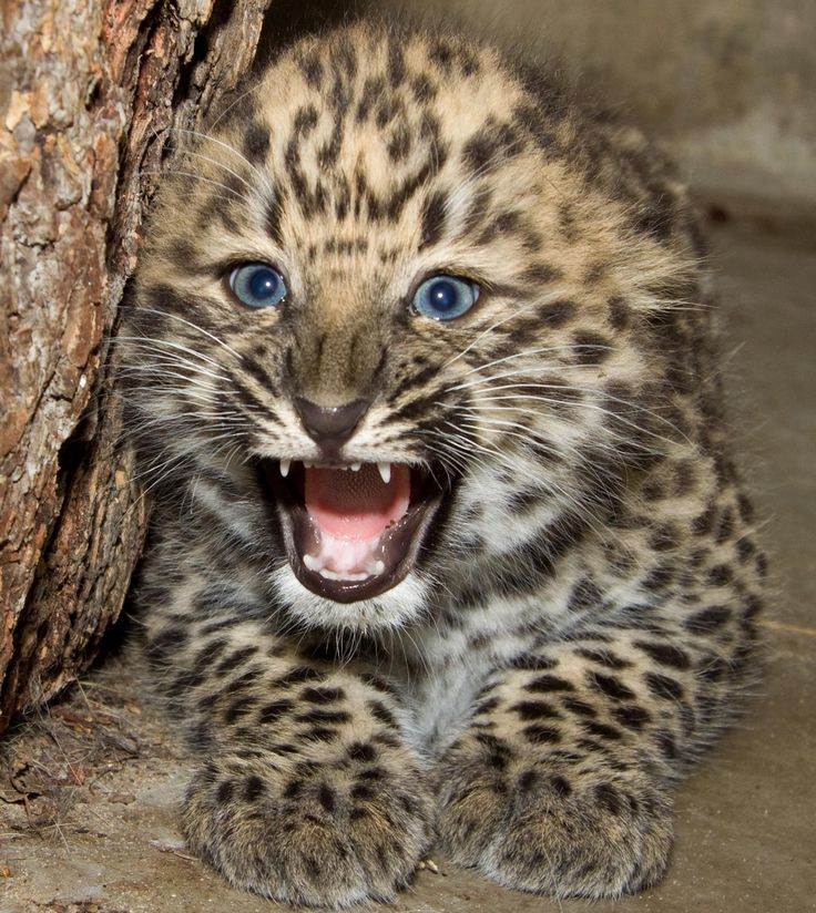 Amur Leopard clipart baby cheetah Different Facts on best Pictures
