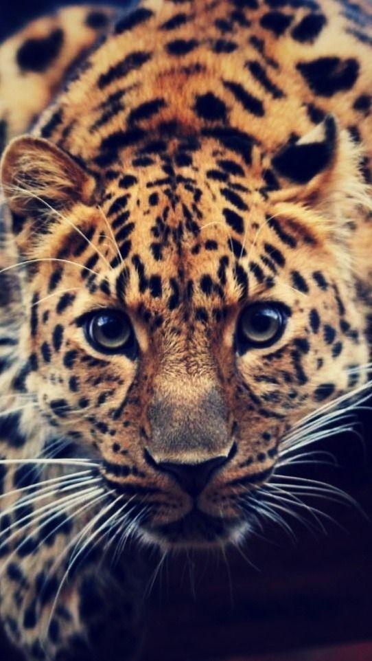 Amur Leopard clipart baby cheetah This Cheetah images Licious Leopard