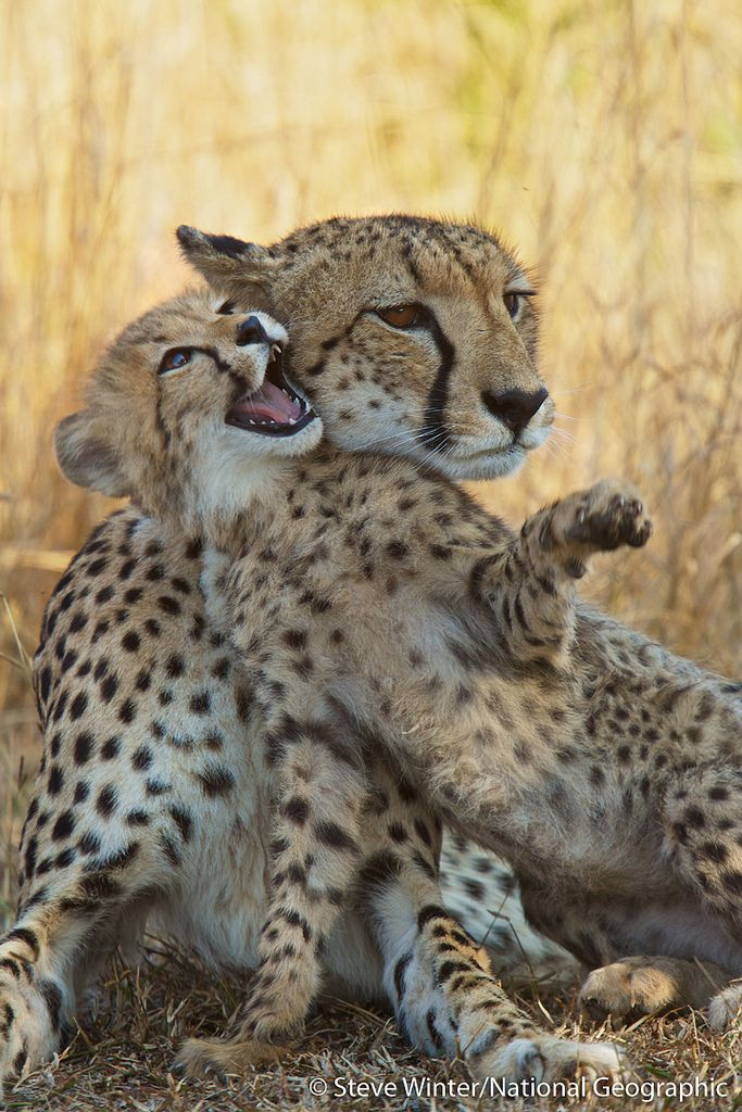 Amur Leopard clipart baby cheetah This baby Pinterest  baby