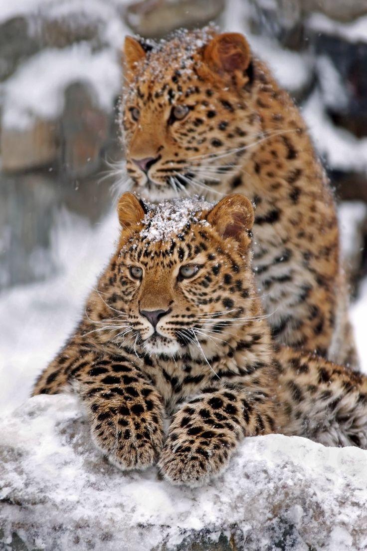 Snow Leopard clipart amur leopard Cubs snow on Leopard Pinterest