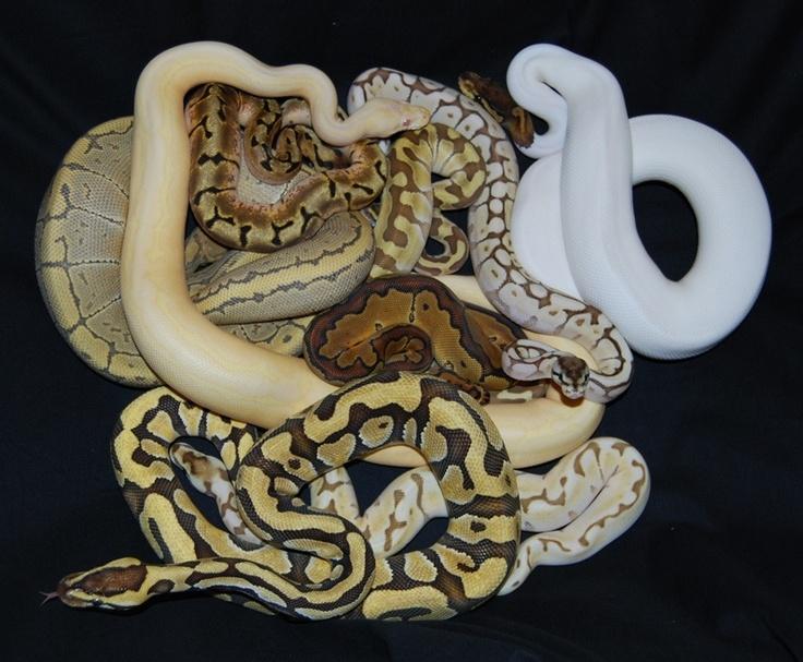 Anaconda clipart viper snake Of & Snakes Python Morphs