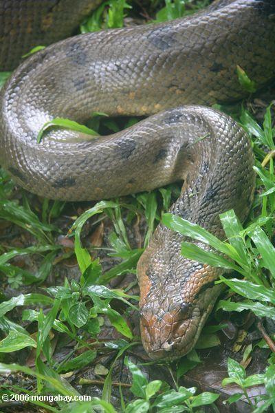 Anaconda clipart binatang Location: Butler 25 Green images