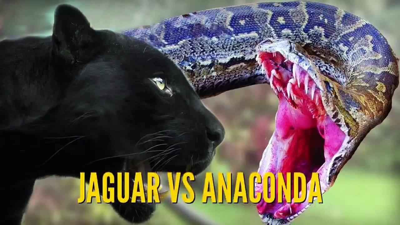 Anaconda clipart binatang Video Ular Anaconda dan Ular