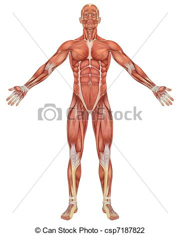 Anatomy clipart #9