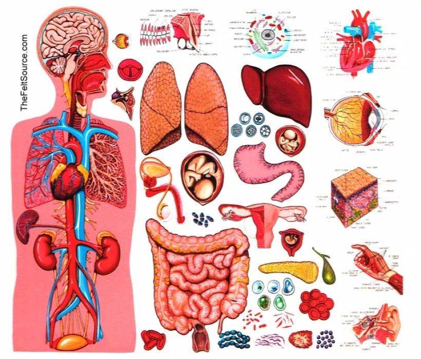 Anatomy clipart Clipart clipart human X clipart