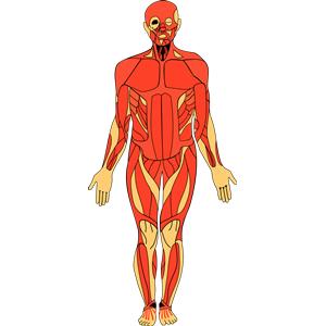 Anatomy clipart #14
