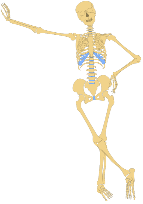 Anatomy clipart Anatomy Skeleton Leaning Clipart