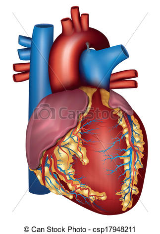Anatomy clipart anatomical heart Images anatomy%20clipart Art Clip Heart