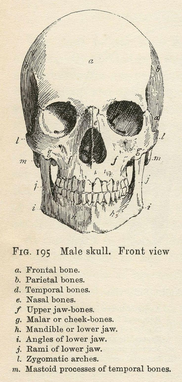 Anatomy clipart animal skull Vintage 160 Bones images ANATOMY