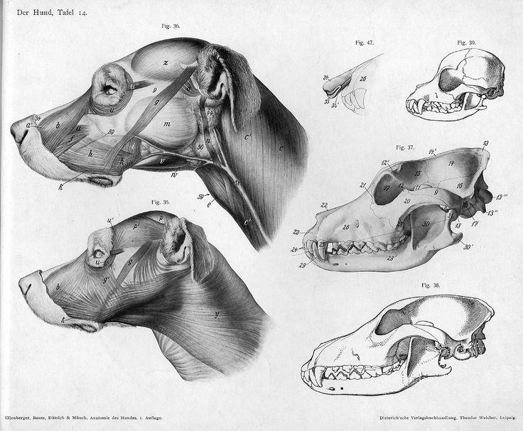 Anatomy clipart animal skull Lose Hermann Gorgeous ideas Best