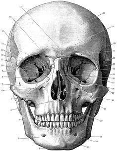 Anatomy clipart animal skull Front AnatomyAnimal ClipArt Exposition Stubbs