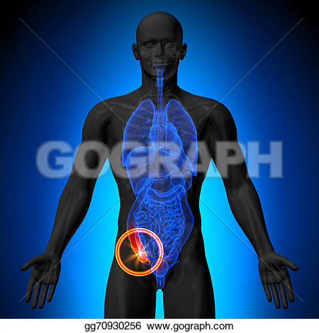 Anatomy clipart appendix Stock Appendix organs Clipart of
