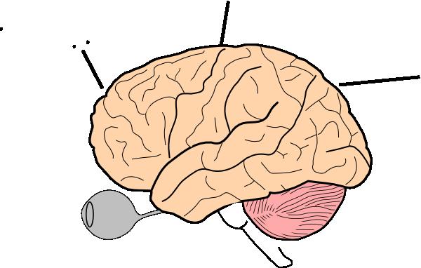 Anatomy clipart brain Art  Brain Clker online