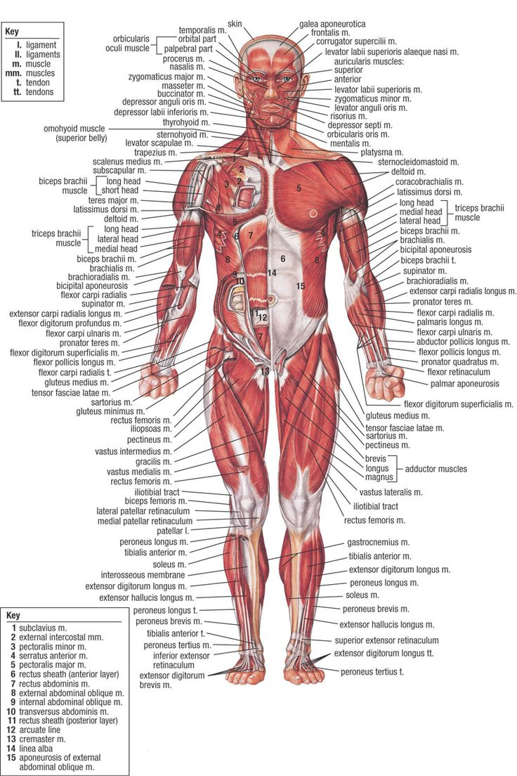 Anatomy clipart human body About The Body Anatomy Full