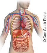 Anatomy clipart human body Clipart  140 and Anatomy