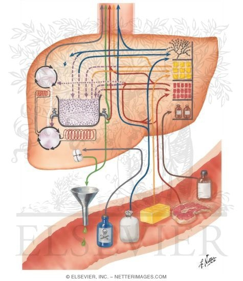 Anatomy clipart metabolism Metabolic Pool  The