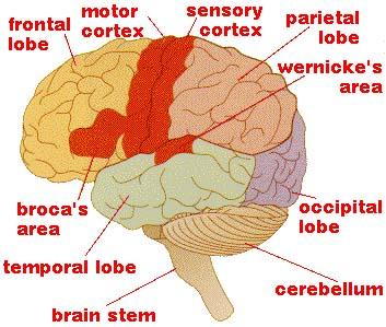 Anatomy clipart neurology #9